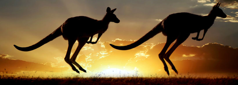 Two kangaroos jumping during sunset in Australian outback