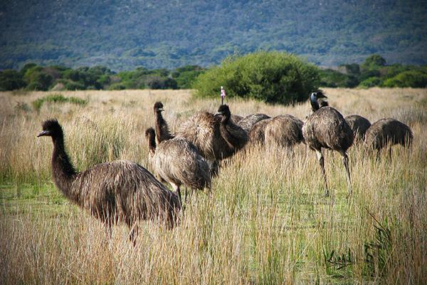Emus gather together in Wilsons Promontory National Park in Victoria, Australia