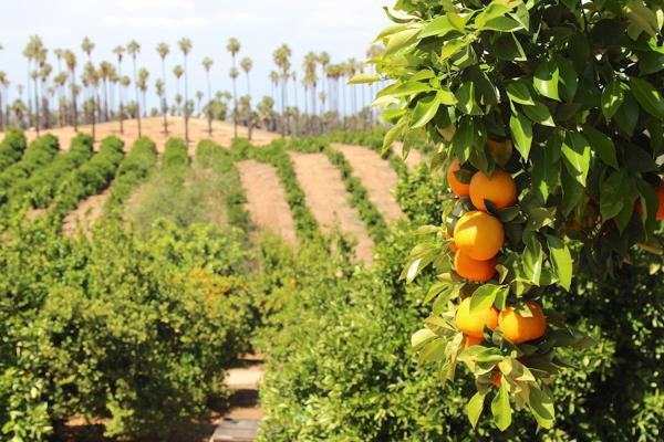 Ripe oranges hang from a tree at a grove in Riverside, California
